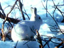 Artic Hare in Snow