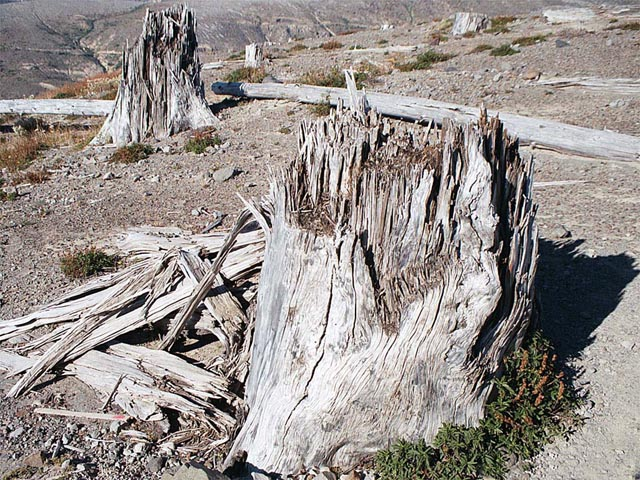 Gnarled Dead Tree Stumps wallpaper