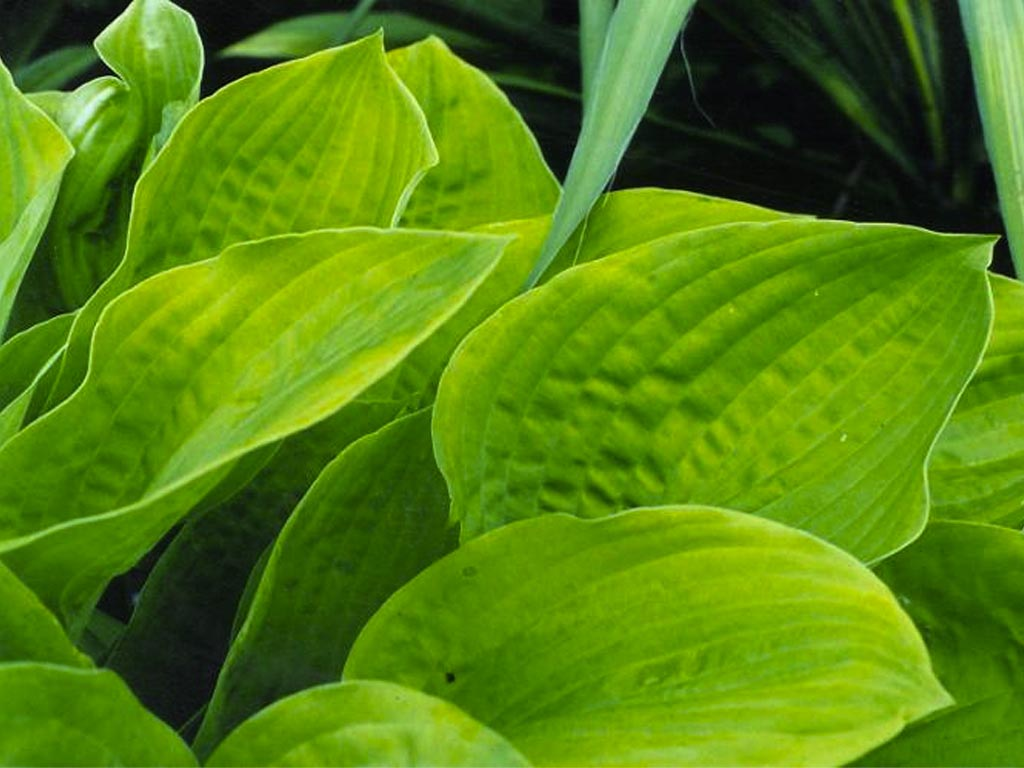 Hostas wallpaper