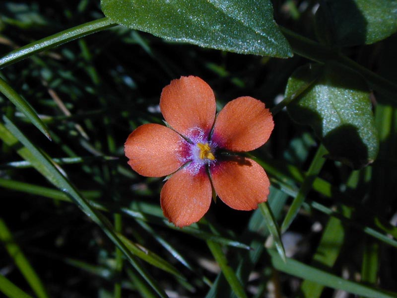 Pimpernel Flower wallpaper