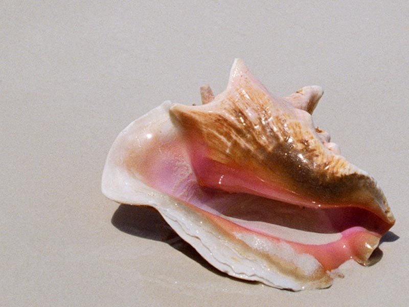 Sea Shell wallpaper
