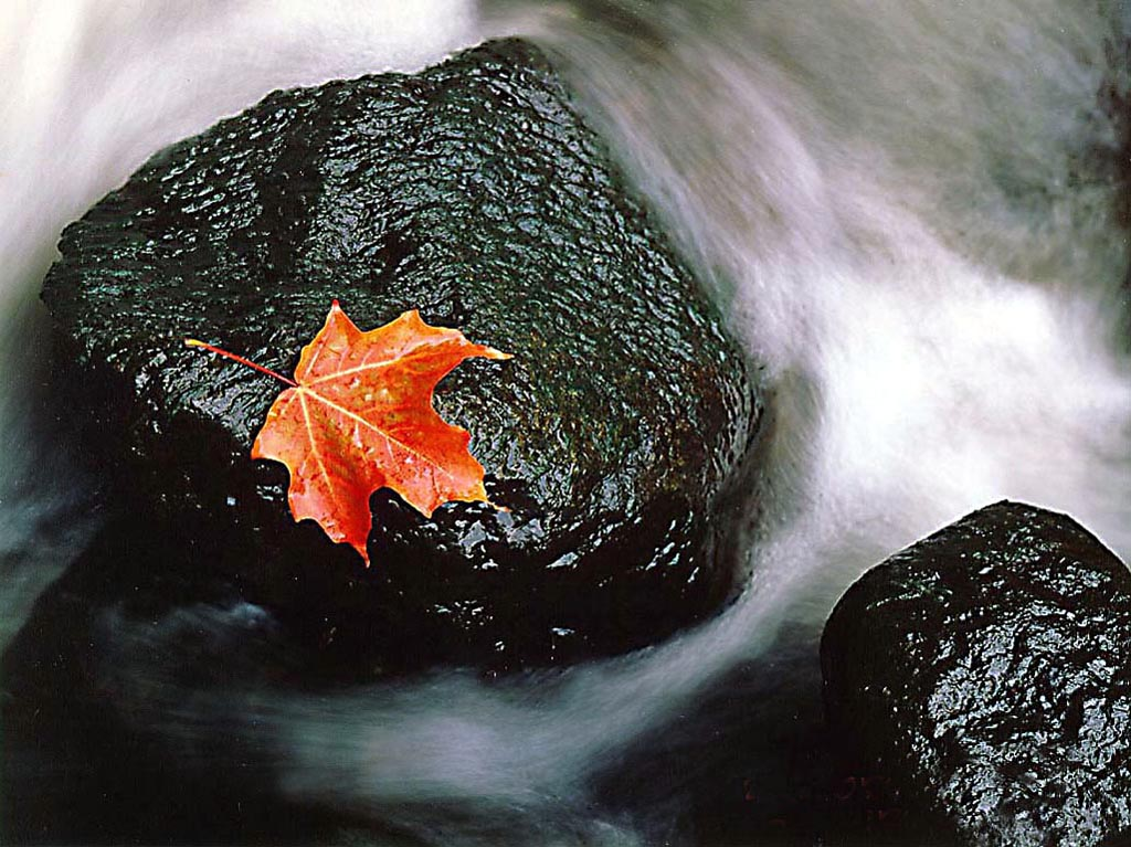 Maple Leaf in Stream wallpaper